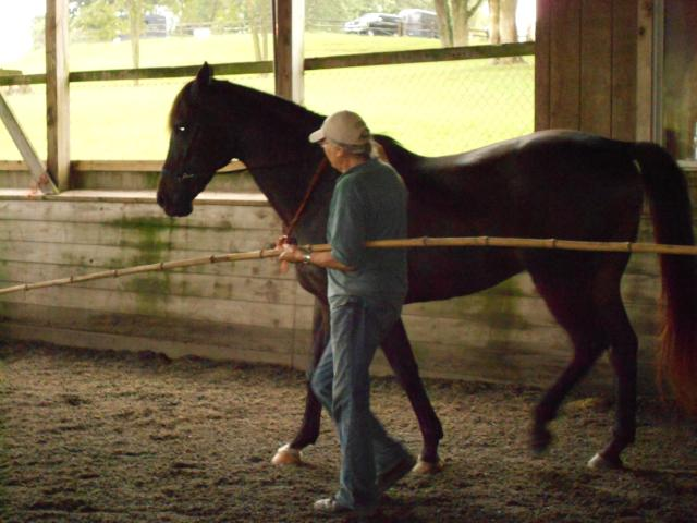 Jill working Runner In-hand with bitfree headstall and bamboo pole.