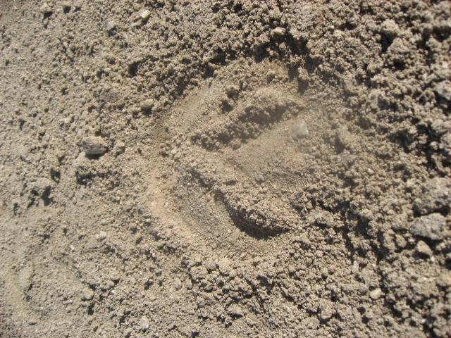 Barefoot hoof print
