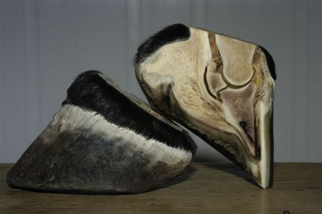 Brumby Hooves, Photo from the Australian Brumby Research Unit website.