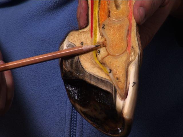 Basic hoof anatomy with Pat Wagner