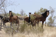 Wild Brumby- Photo from the The Australian Brumby Research Unit website.