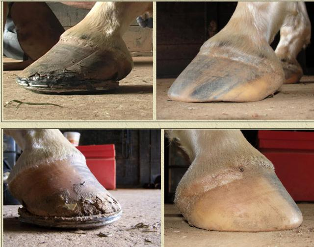 Hoof Transition, Before and After.