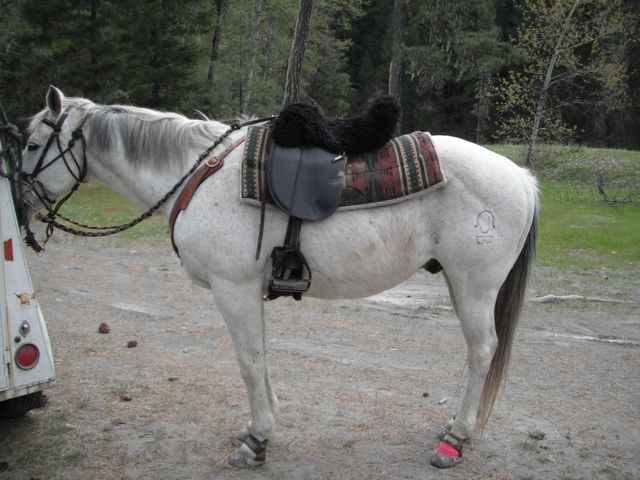 Clyde in his boots after the ride... he got a little banged up in the brush and needed wrapping...