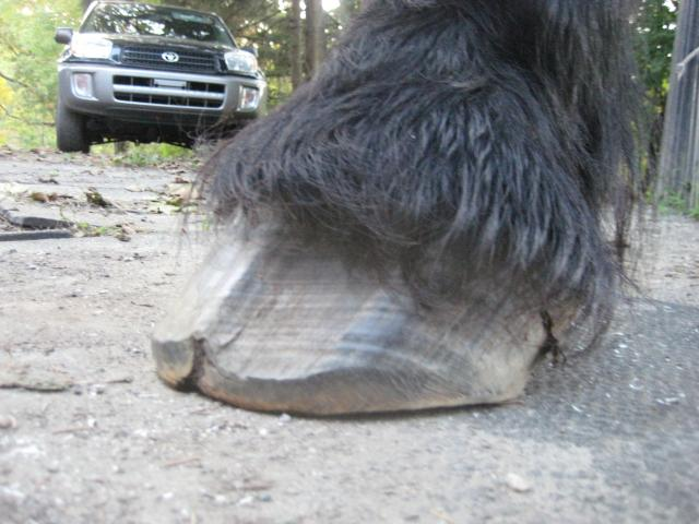 Another view of the damaged hoof wall emanating from the coronary band.