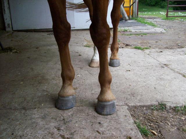 Eddie's rehabilitated hooves in June have a cone shape, granite-like horn color with horizontal front hairlines.