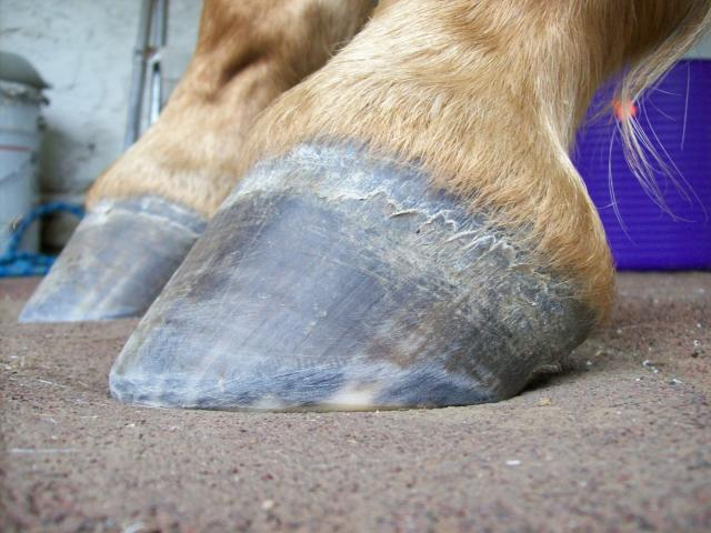 The side or lateral view shows a hoof under the horse, nice mustang roll and a correctly descending hairline.