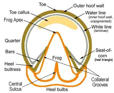 Image result for horse hoof sole plane in heel triangle