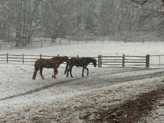 Herschel and Sunny brave the snow to get to their hay.
