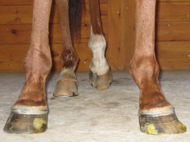 Garwin's amazingly flared hooves.