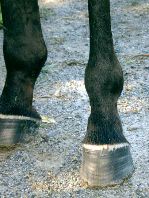 Off the track racehorse has thin, shelly feet. Laminitic rings run the full hoof length. The thin wall chips easily.